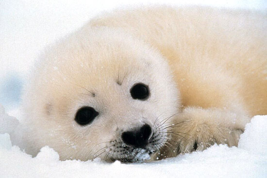 Information on Selkie White-coat-seal-pup